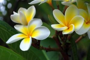 800px-Frangipani_flowers