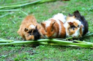 guinea-pig-208438_640