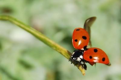ladybug-55056_640