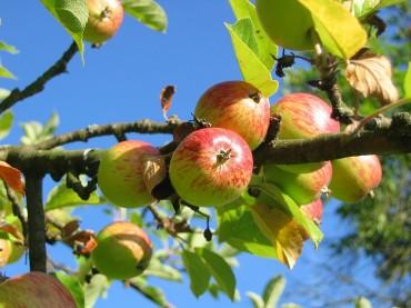 Verschenke einen Obstbaum!
