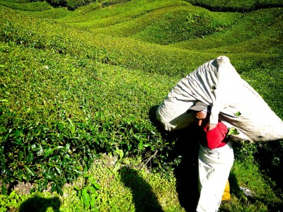 Fairtrade-Teeplantage