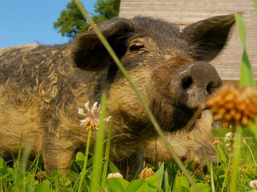 Schweine und Schweinebauern in der kalkulierten Strukturtragödie