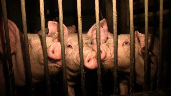 Ferkel in einer Aufzuchtanlage in Deutschland | Bild: PETA Deutschland e.V.