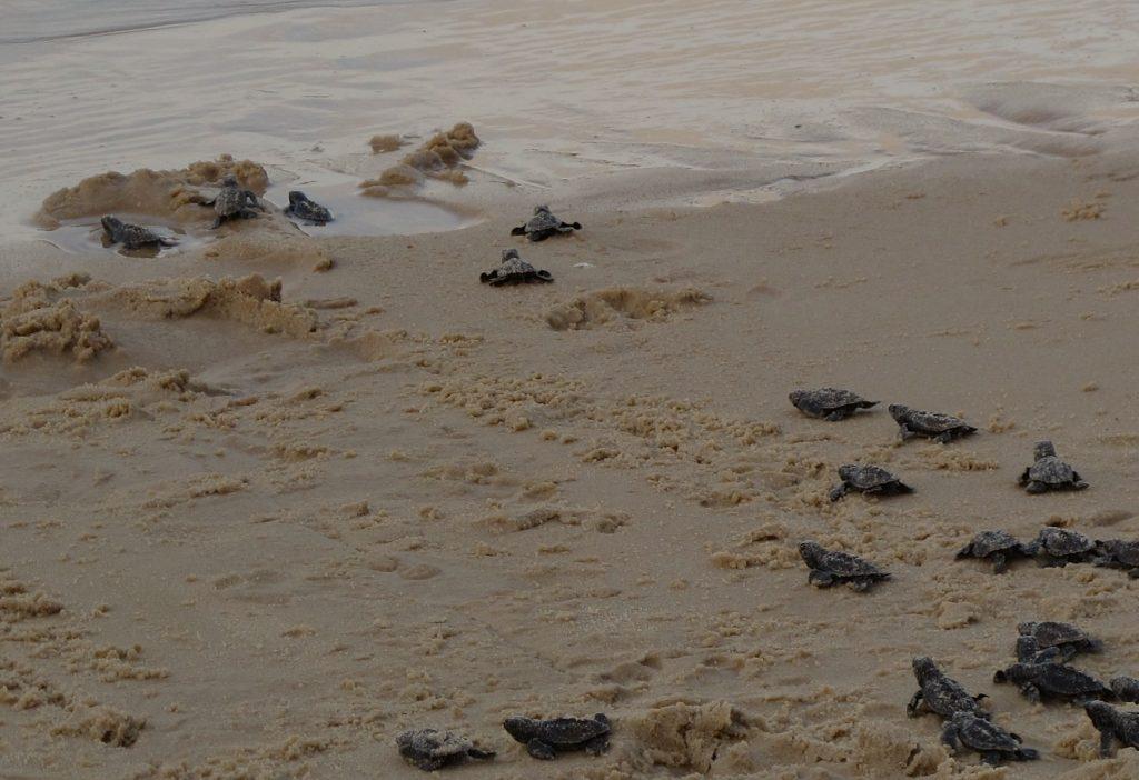 Wer wohl aufgeregter war: Die Helfer, die Zuschauer oder doch die kleinen Schildkröten? Foto: Doris