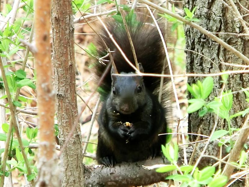 squirrelfertig