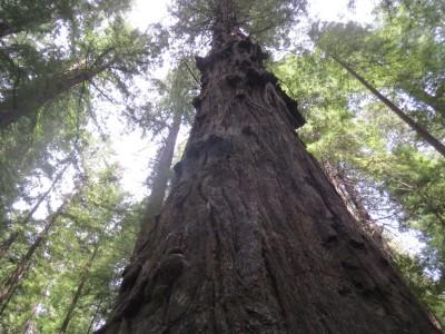 25 eureka redwood 2